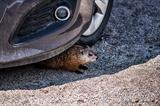 Rodent under car v2